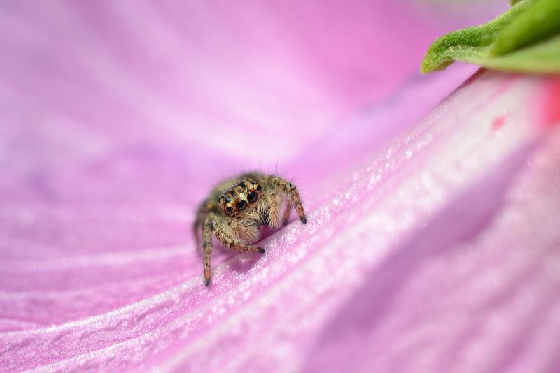 spider di chiaravanazzi