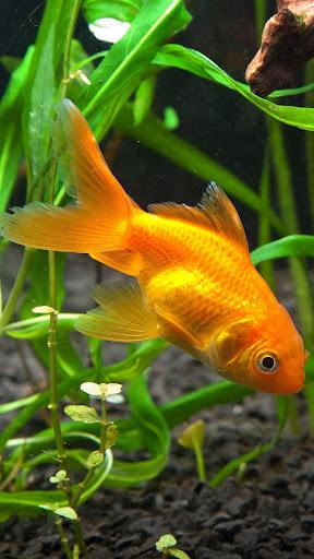 Gold Fish Online