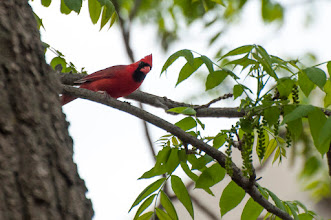 Photo: Northern Cardinal (Rotkardinal); Kingston, ON