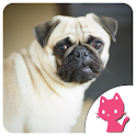 Beautiful pug wallpaper icon