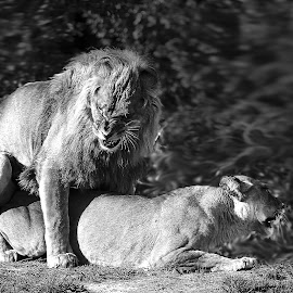 Mating by Gérard CHATENET - Black & White Animals