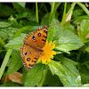 Junonia almana 美眼蛺蝶