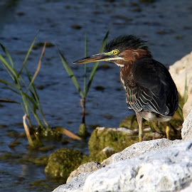 Green Heron by Bruce Arnold - Animals Birds (  )