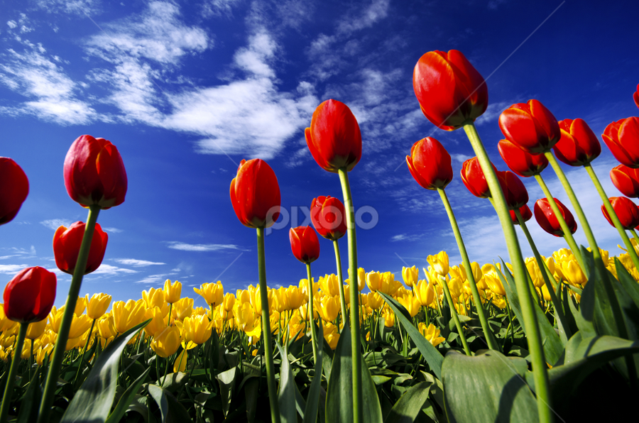 Tulips by Nae Chantaravisoot - Nature Up Close Gardens & Produce ( clouds, skagit, colorful, bright, green, yellow, vibrant, farm, clear, washington, sky, red, blue, tulip, festival, harvest, day, flowers, large, fully grown )