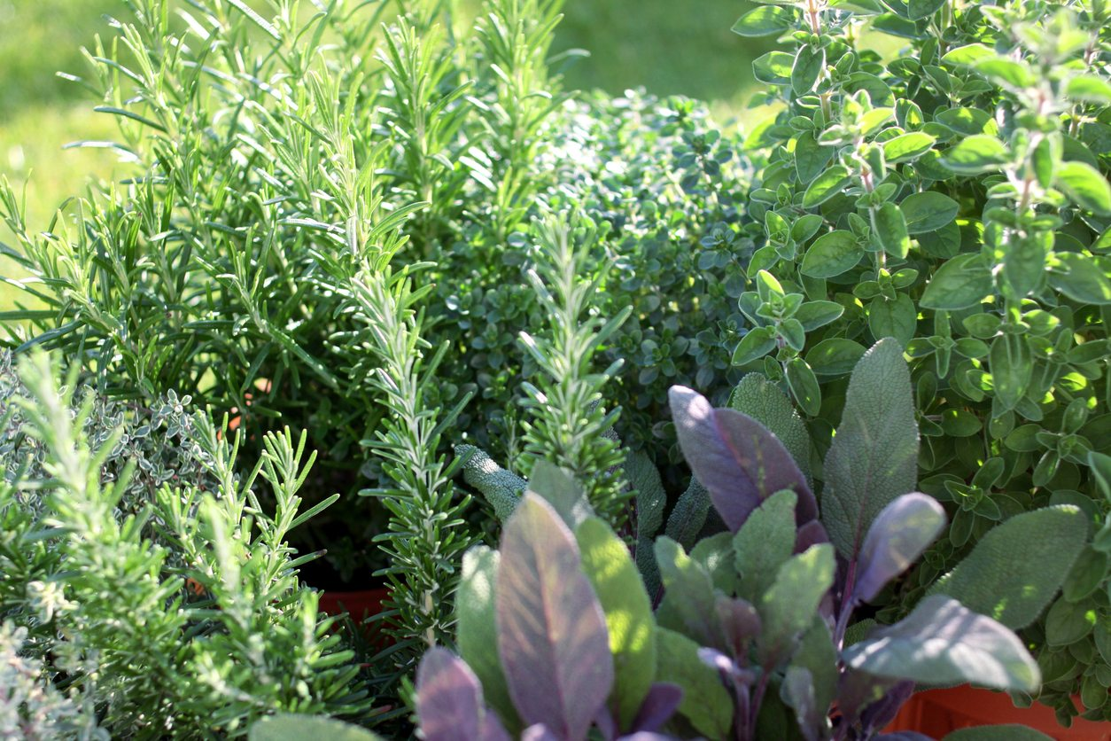 herbs to plant