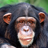 Chimp Memory Test Lite