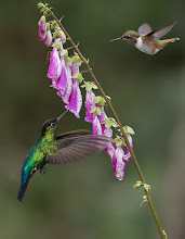 Photo: 2 Hummingbirds in Flight!  Would you like a print of this image?  A fiery-throated and a volcano hummingbird in flight on a flower! Not an easy capture, but sweet luck when it happens!  Thanks to nature for these beautiful species in Costa Rica! I hope you will order a print? ray@raymondbarlow.com if your interested.  Kind regards, please love and treat nature with respect!  www.raymondbarlow,com  #nature #phototour #costarica #hummingbird #raymondbarlow #nature #naturephotography  #green #volcano #phototours  #hummingbirdphotography #raymondbarlow #travel #adventure  #whatshot #travel  #birdsinflight  #canadianphotographer #hqspbirds #birdsgallery  #birds4all  #photomaniacanada #birdphotography  #birdphotographs  #googlephotos #googlephotography  #wildlifephotographer #raymondbarlownaturephototours #travelphotography  #10000photographers #circleshare #circleoftheday  #beautifulbeautifulbirds #PhotoWorkshop