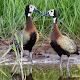 Lovely Ducks Live Wallpaper APK