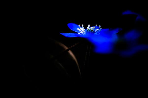 fiore blu di fabrizio_fontana
