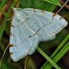 Lesser Maple Spanworm Moth?
