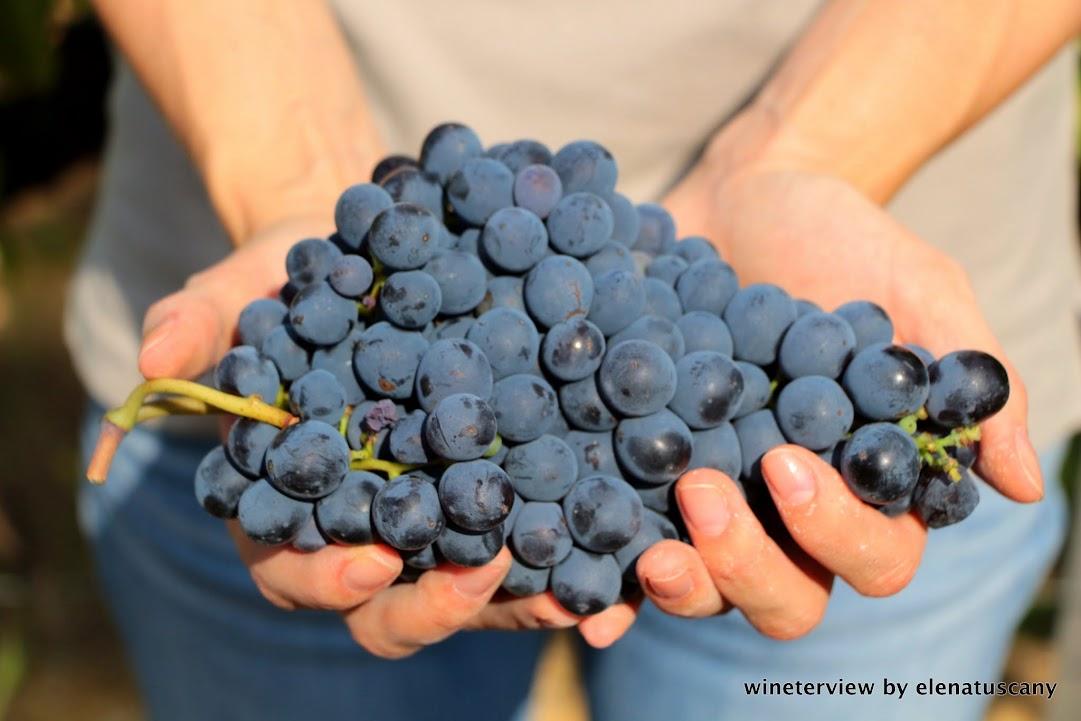 vendemmia, sangiovese, roccapesta, vino rosso, scansano, morellino di scansano, maremma, maremma vino, uva, wine, red vine, sangiovese wine, maremma wine, grape, grape harvest, toscana vino, tuscan wine, vigneto, vine , produzione vino, cantina, wine