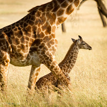 Photo: Giraffe and her daughter On safari in the Serengeti, Tanzania See the original untouched image at www.kylefoto.com  This young giraffe will hang by her mother along with other females in a group. This is the identical pair that I photographed earlier. After this wild baby giraffe was finished ambling around the Serengeti she settled down under her mother for a moment. Already getting the zoomed out scenic shot under my belt ( http://wp.me/p1meFH-OA ) I had to photograph some detail shots now.  Photographic Details: My main focus was the baby giraffe, and given how good our minds are at putting things together I knew I didn't have to have the whole mother and baby giraffe in the same shot. The point of the photo is to show the scale between the mother and the baby, in addition her position under her mother perfectly expresses how important of a shelter this mother is to her baby. The rest is up to the viewer, we're good enough at guessing that the rest of the mother is beyond the frame to know she's just not a headless four legged monster, keeping the focus squarely on the baby. I decided to crop this image square, it's a nice shape and the extra background to the right I thought was unnecessary. With this image I used the exact same storytelling device I used with a baby elephant, clearly it's a story that is seen in many animals all over africa http://wp.me/p1meFH-Ow  1/160s f/7.1 ISO100 400mm  #critiquepls What do you think about the crop of this image? Could it keep it's rectangular shape?: http://wp.me/p1meFH-OW  For #wildlifewednesday curated by +Mike Spinak !