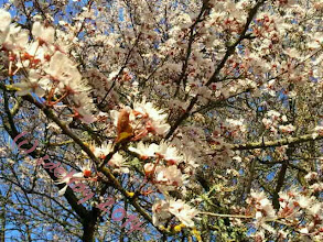 Photo: Spring is happening for the asian plum tree in my back yard. It is not raining and I can smell and see the blossoms.