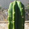 San Pedro cactus