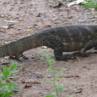 Water Monitor (on land)