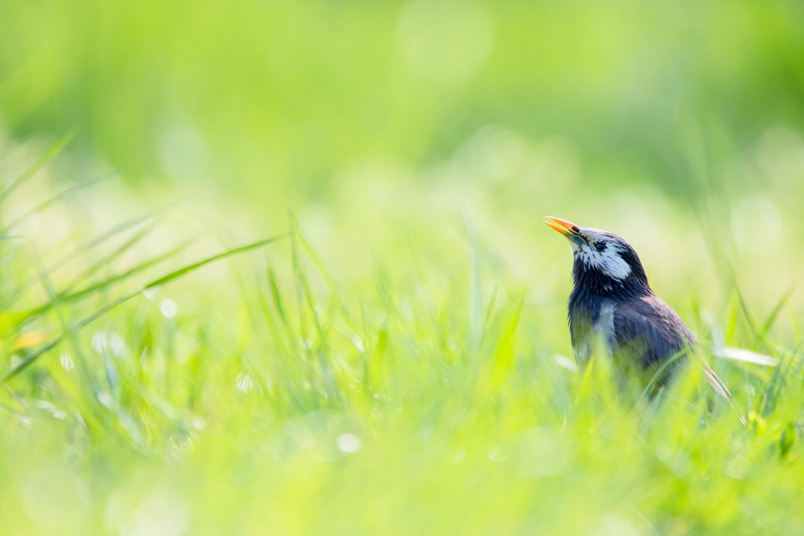 Photo: 「ぐんぐん伸びる」 / Growing green.  見る見るうちに生い茂る ぐんぐん伸びて 世界を染める 緑の季節がやってきた  White-cheeked Starling. (ムクドリ)  Nikon D7200 SIGMA 150-600mm F5-6.3 DG OS HSM Contemporary  #birdphotography #birds #kawaii #ことり #小鳥 #nikon #sigma  ( http://takafumiooshio.com/archives/2448 )