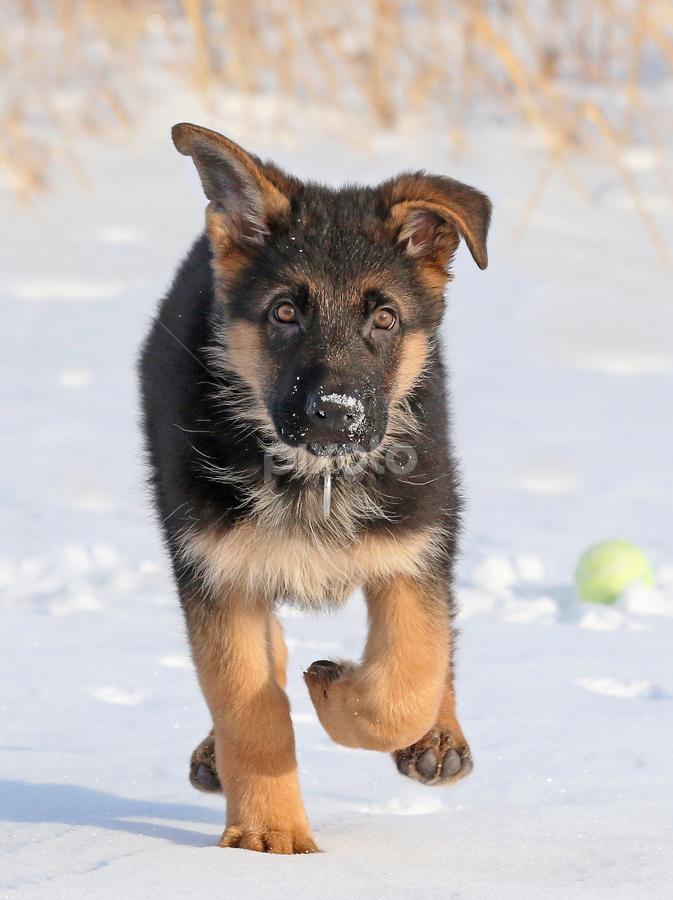 Puppy play by Mia Ikonen - Animals - Dogs Puppies ( canine, winter, pet, snow, action, finland, puppy, dog, motion, cute, german shepherd, running, mia ikonen )