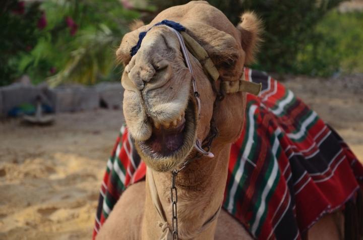 Half Smilin' Camel di savio cabballo
