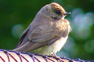 Photo: Northern Rough-winged Swallow