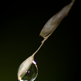 Pure by Friedrich Redelinghuys - Nature Up Close Natural Waterdrops ( reflection, macro photography, grass, drop, rain )