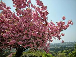 Photo: 国上寺。展望台の八重桜が満開で最高!