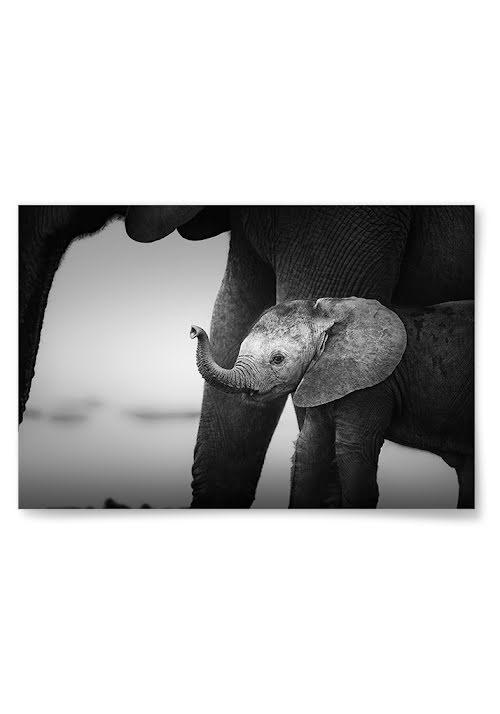 Poster Elefantunge
