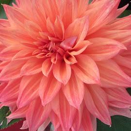 Orange Dahlia by Viive Selg - Flowers Single Flower (  )
