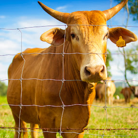 A bull at grazing field by Zam Foto - Animals Other Mammals ( grazing, grass, green, cow, horn, bull, mammal, skin, livestock, field, sky, milk, meat,  )