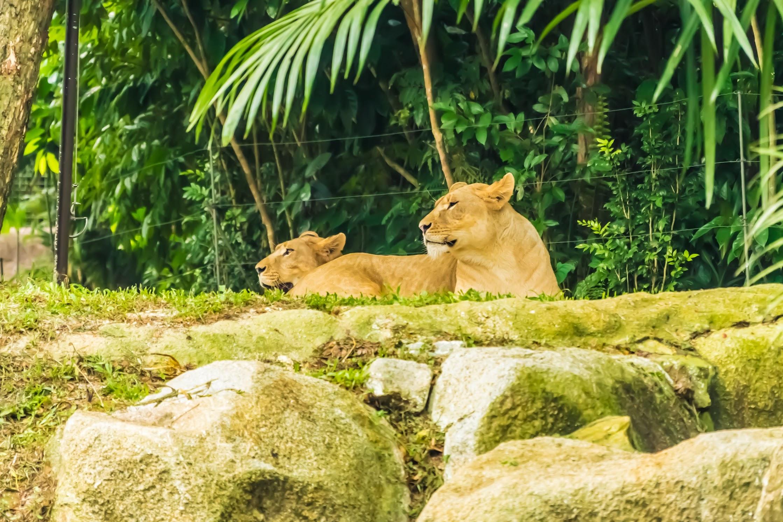 シンガポール動物園 ライオン
