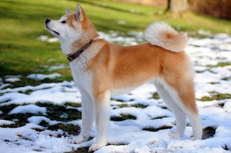 Harga jual beli anjing Akita Inu. Asal & Atribut anjing Akita murni