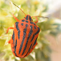 Red Half-spotted Stink Bug