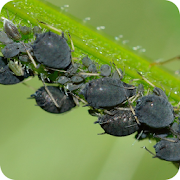 App Icon for Aphids App in Czech Republic Google Play Store