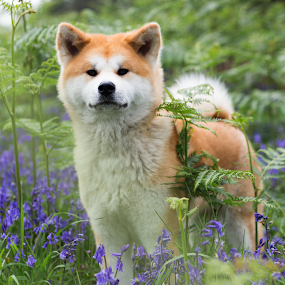 Nami by Magdalena Sikora - Animals - Dogs Portraits ( red akita, akita inu, dog in flowers )