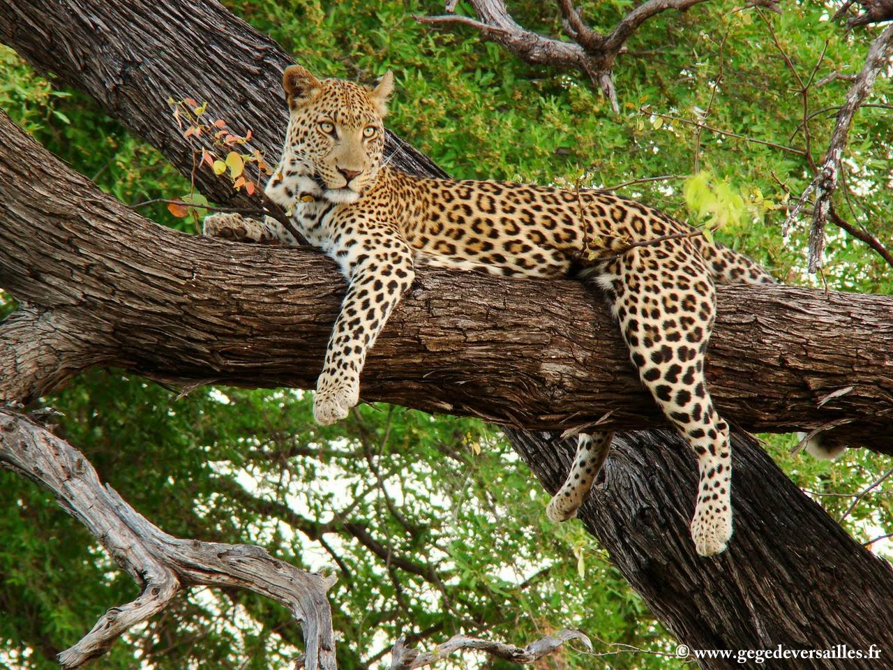 Photo: #182-Léopard of the Okavango Delta in the Moremi Wildlife Reserve