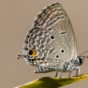 Butterfly by Andy Goo - Novices Only Wildlife ( butterfly, spotted, macro, grey, yellow )