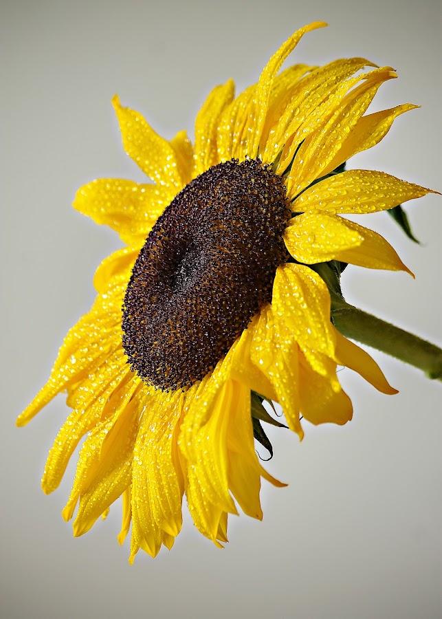 SUNNY by Michael Michael - Flowers Single Flower ( macro, waterdrop, single flower, sunflower, yellow,  )