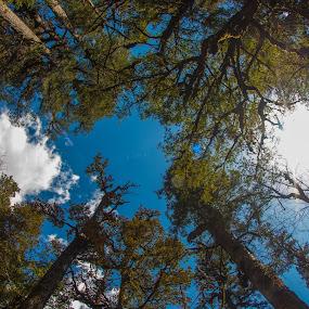 Pine Forest by Maulik Pankhanya - Landscapes Forests ( himalaya, forest, pine, fisheye, himalyan )