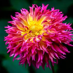 Dahlia 2 by Leo Ramli - Flowers Single Flower