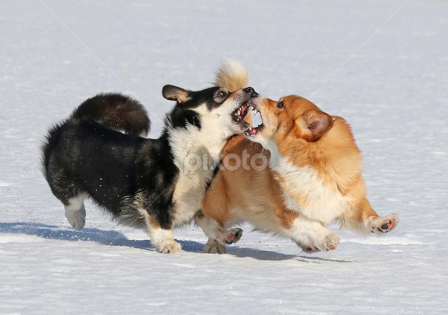 Click! by Mia Ikonen - Animals - Dogs Playing ( running, mia ikonen, pembroke welsh corgi, action, winter, playing, finland )