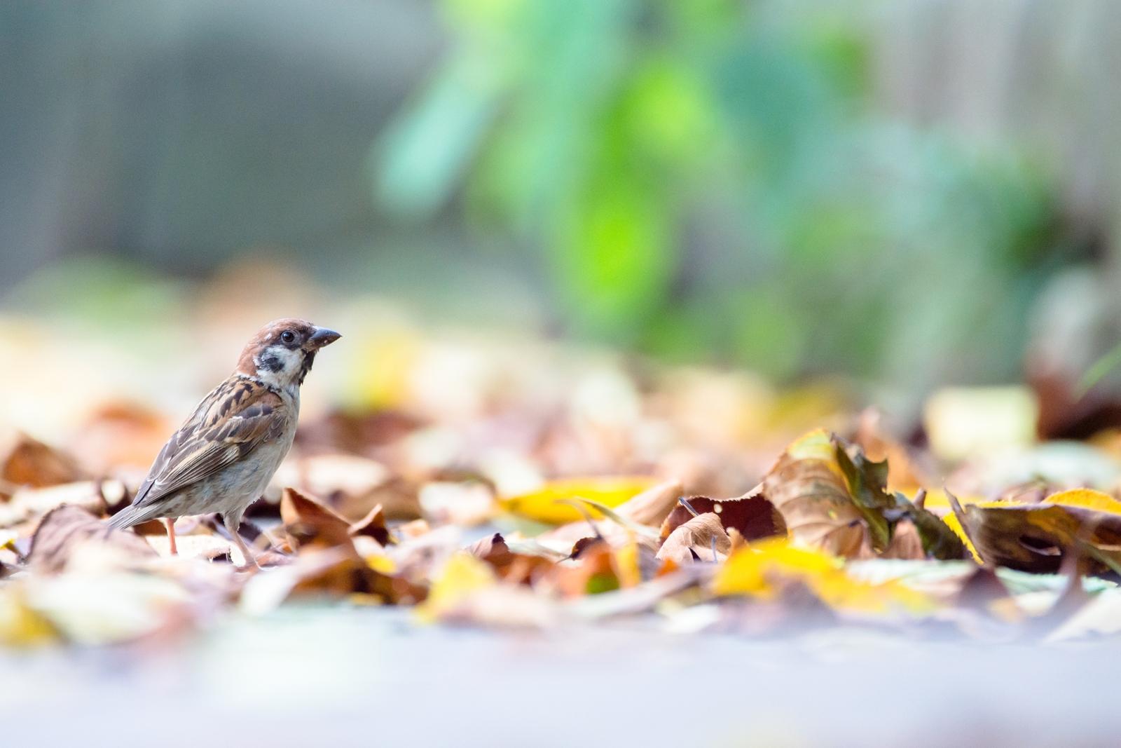 Photo: 葉が落ちる Fallen leaves.  あんなに力強く あんなに青々とした葉が 気付くと足元に広がっていく 少し寂しい そんな季節が始まる  Sparrow. (雀)  #birdphotography #birds #cooljapan #kawaii #nikon #sigma #sparrow  Nikon D7200 SIGMA 150-600mm F5-6.3 DG OS HSM Contemporary