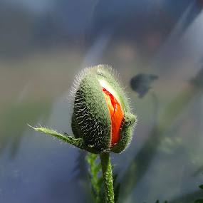 by Ilona Stefan - Flowers Single Flower (  )