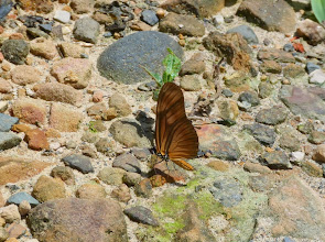 Photo: LEAST HELICONIAN (JULIETTE)--eueides aliphera--RIO PINGULLO