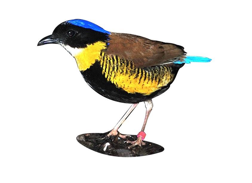 นกแต้วแล้วท้องดำ