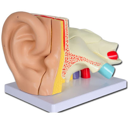 Anatomisk modell Öra i 5 Delar