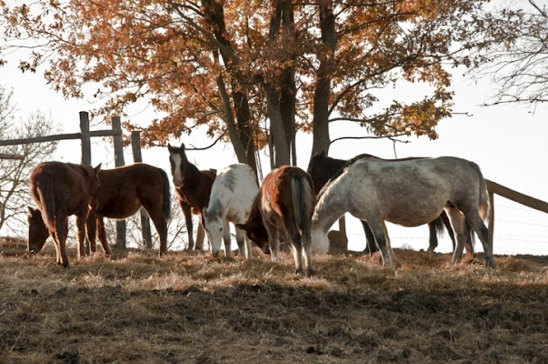 Cavalli a colazione di ciubecca