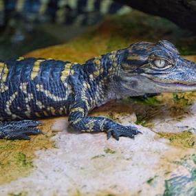 Mini Gator by Charles Adam - Animals Reptiles ( scales, snake eyes, crocodile, alligator, branch, rock, stripes, teeth, jaw )