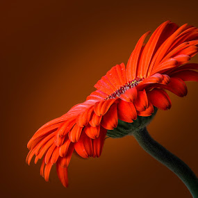 Gerbera by Joško Šimic - Flowers Single Flower (  )