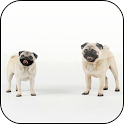 Mops Video 3D Wallpaper icon