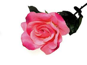 Photo: Single pink rose isolated on white background