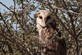 Photo: Barn Owl / Sova pálená